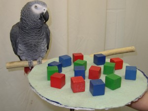 alex-the-african-grey-parrot1