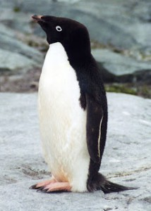 Adelie penguin. Credit: Stan Shebs via Wikimedia Commons