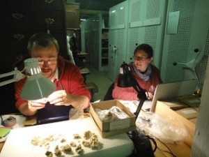 Becky working with colleague Geoff Smith, a mammoth specialist, on a museum collection.