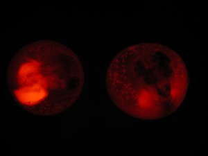 Two mummichogs embryos with a chemical that glows red collecting in their urine. Courtesy of Bryan Clark
