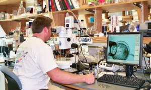 Bryan using a micromanipulator to inject an embryo (< 1 hour old and only 2 cells) with a gene function blocking agent called a morpholino. Courtesy of Bryan Clark